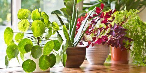 Makkelijke kamerplanten – makkelijke kamerplant schaduw & zon
